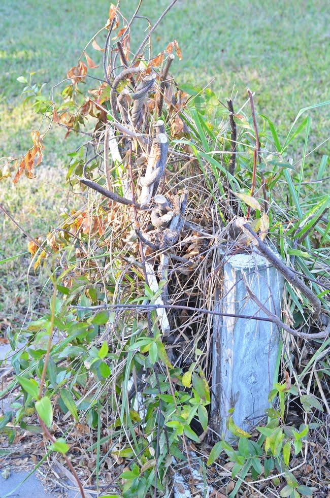 cut yellow jessamine vines