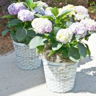 hydrangeas in painted wicker plant baskets | Cottage at the Crossroads
