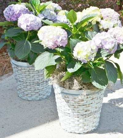 hydrangeas in painted wicker plant baskets   Cottage at the Crossroads
