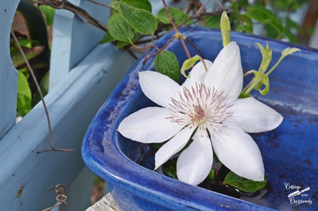 white Henryi clematis | Cottage at the Crossroads