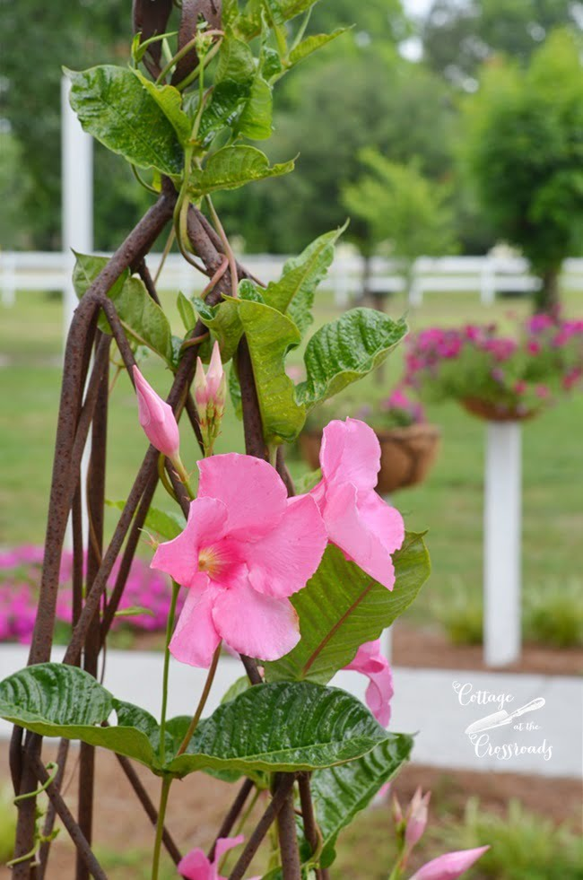 Flower gardening ideas and real life cottage at the crossroads pink mandevilla vine on a trellis in a whiskey barrel cottage at the crossroads mightylinksfo
