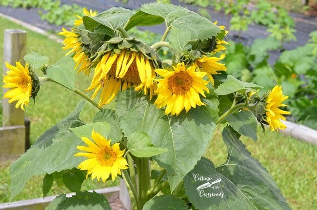 sunflowers in the garden | Cottage at the Crossroads