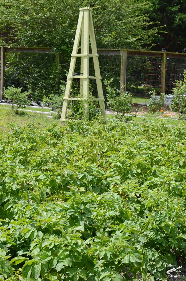 potato plants in the garden | Cottage at the Crossroads