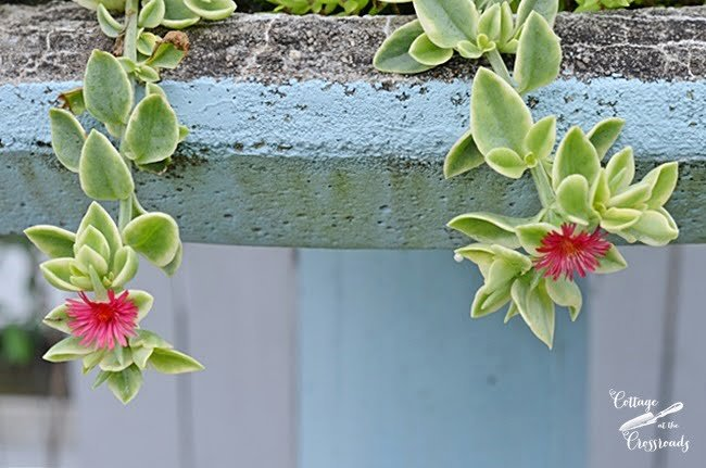 red apple ice plant | Cottage at the Crossroads