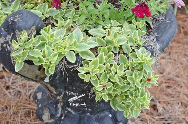 red ice plant | Cottage at the Crossroads