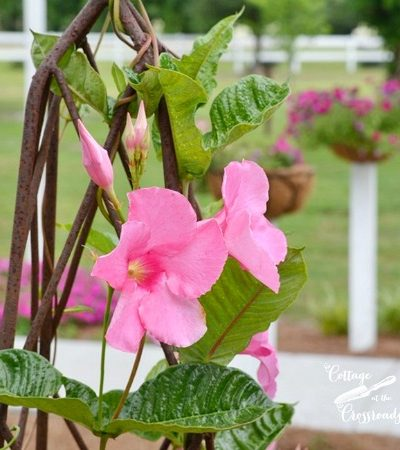 pink mandevilla vine on an iron trellis in a barrel | Cottage at the Crossroads