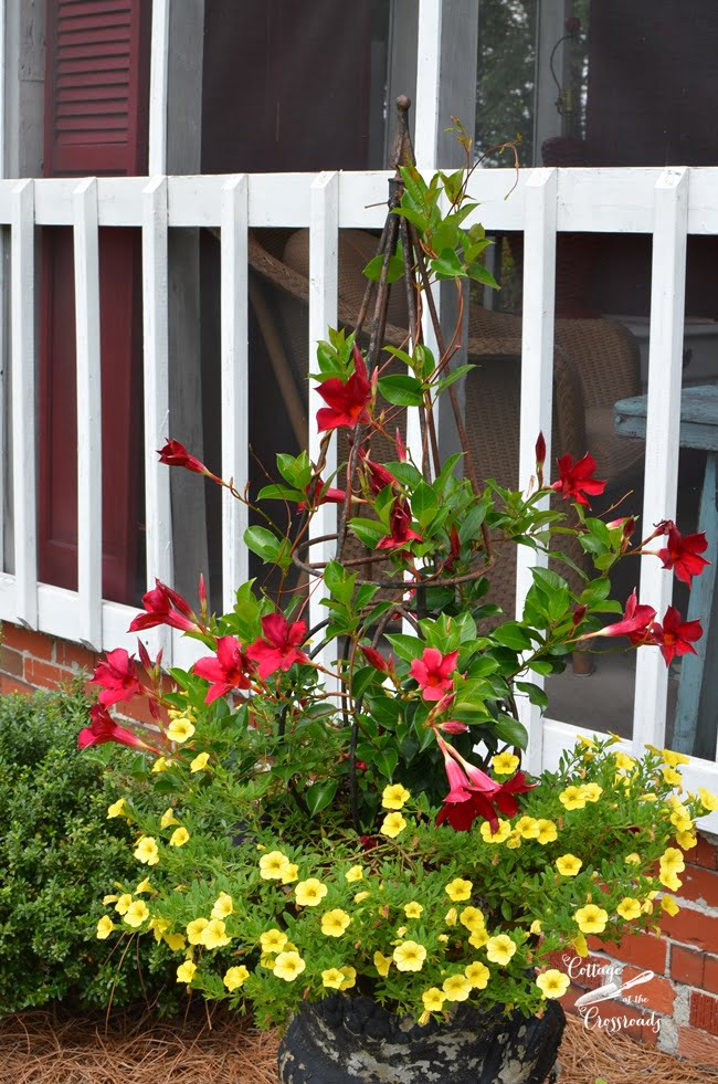 red mandevilla vine surrounded by yellow callibrochia