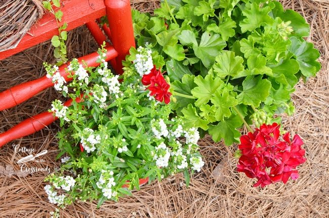 white angelonia and red geraniums
