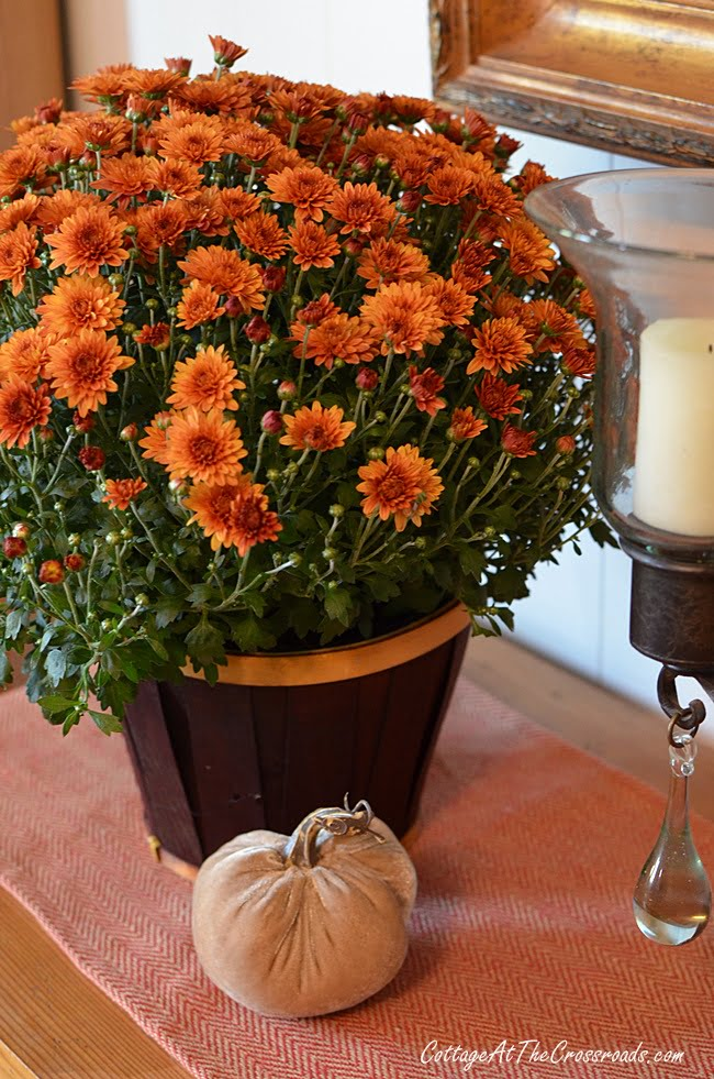 traditional colored mums and velvet pumpkins