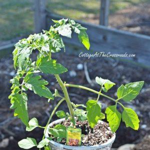 Choosing the Best Tomato Plants