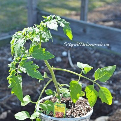 Choosing the Best Tomato Plants