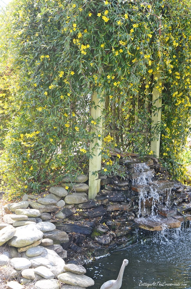 yellow jessamine blooming on the arbor behind the waterfall