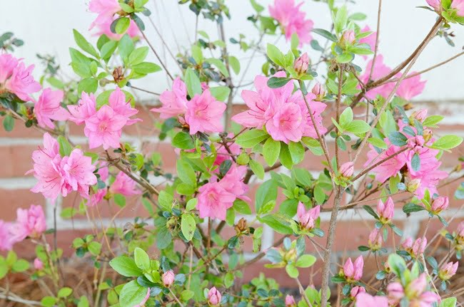 spring tour with blooming azaleas