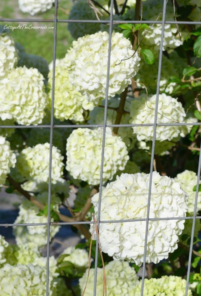 spring tour with blooming viburnum shrub
