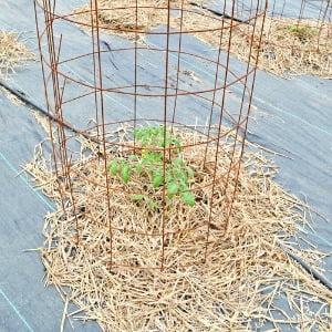 small tomato plant in a cage