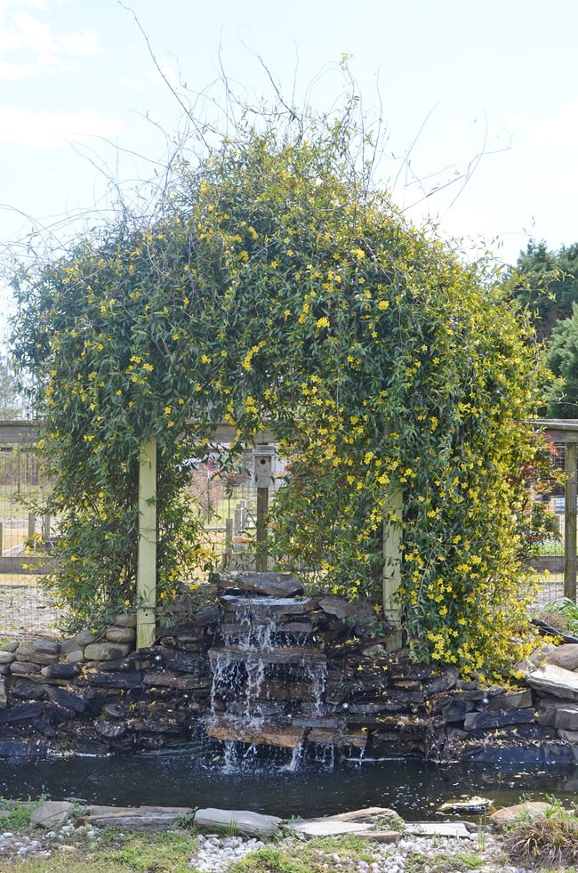 yellow jessamine blooming on an arbor