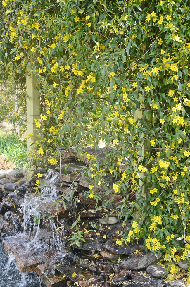 yellow jessamine in full bloom