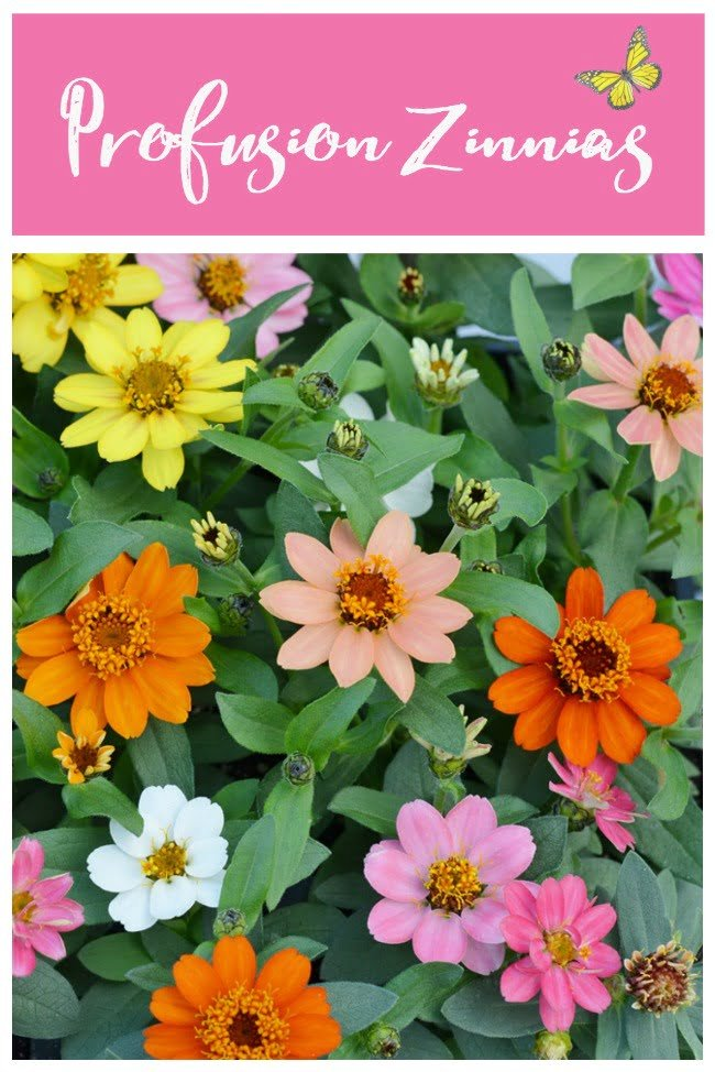 Profusion zinnias-the perfect annual