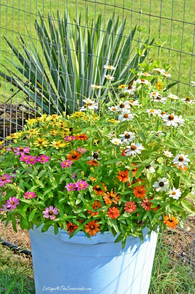 Profusion zinnias grown in a container