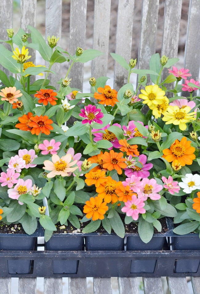 a flat of Profusion Mix Zinnias