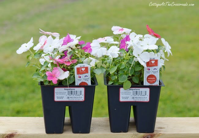 impatiens flowers to put in a painted metal planter