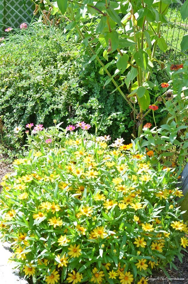 yellow Profusion zinnias