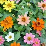 Plant profusion zinnias for summer long color