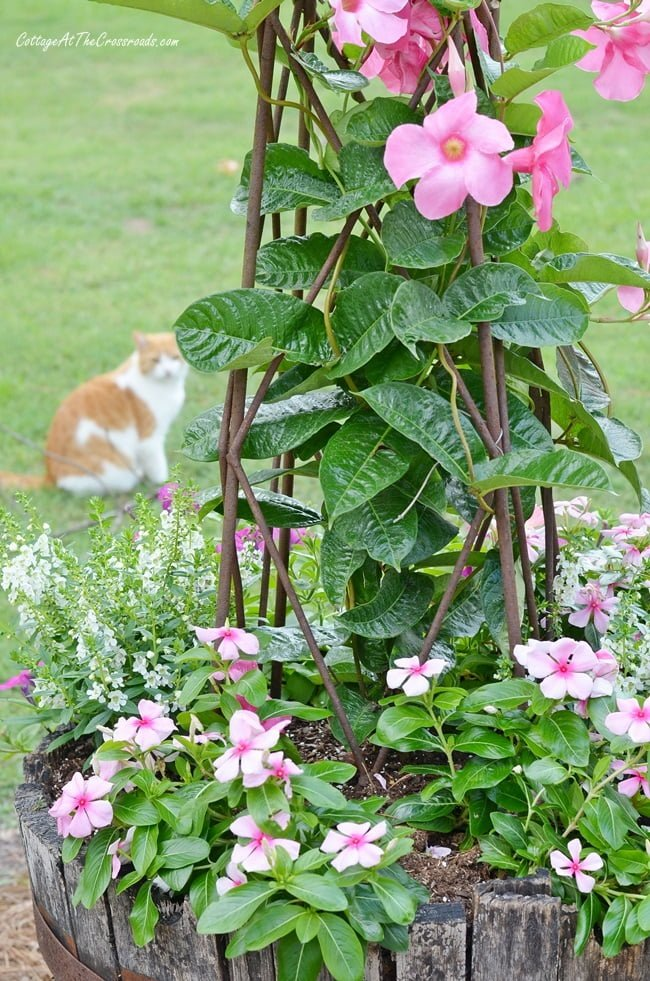 pink mandevilla and vinca planted in a whiskey barrel