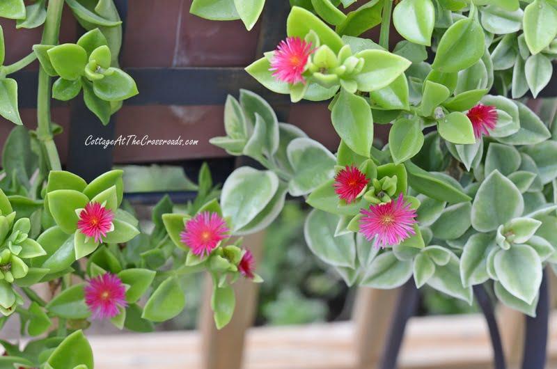 Aptenia Ice Plant-a favorite succulent