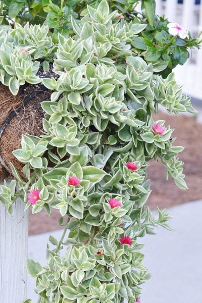 Aptenia cordifolia 'Variegata' also known as Mezoo Trailing Red