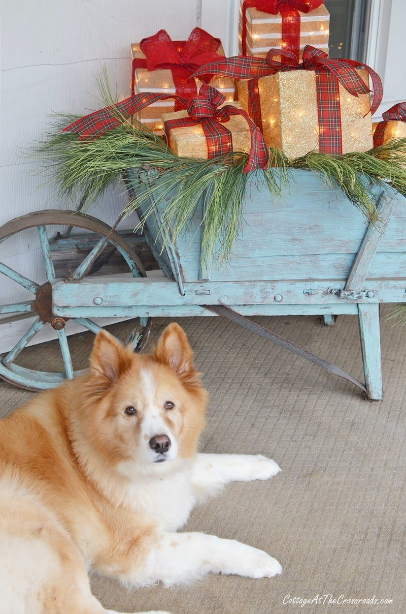 Lucy, our dog, in front of the vintage wheelbarrow with lighted gift boxes