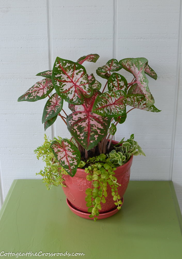 caladiums planted in a coral container