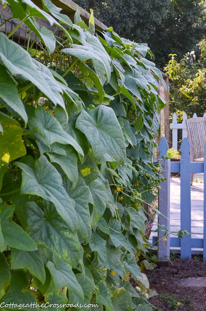 cucumbers growing in the vegetable garden