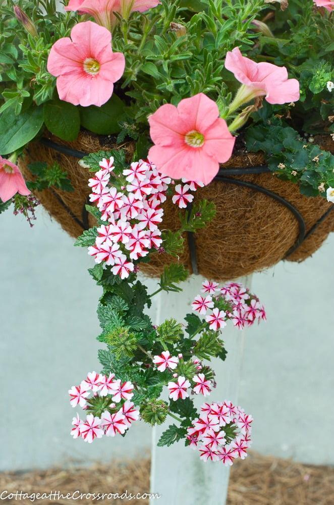 petuniias and verbena in flower baskets