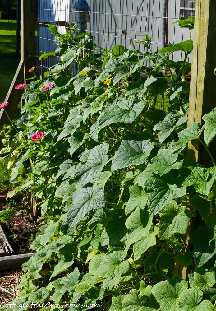 cucumbers climbing a fence