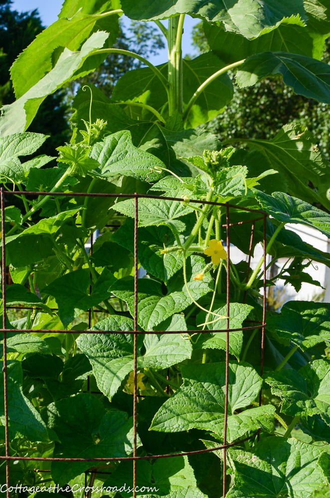 cucumbers growing in a raised bed