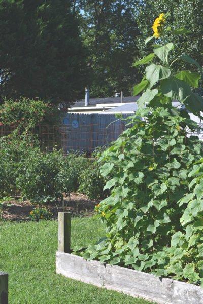 growing cucumbers in raised beds