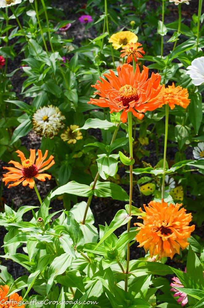 zinnias in a vegetable garden