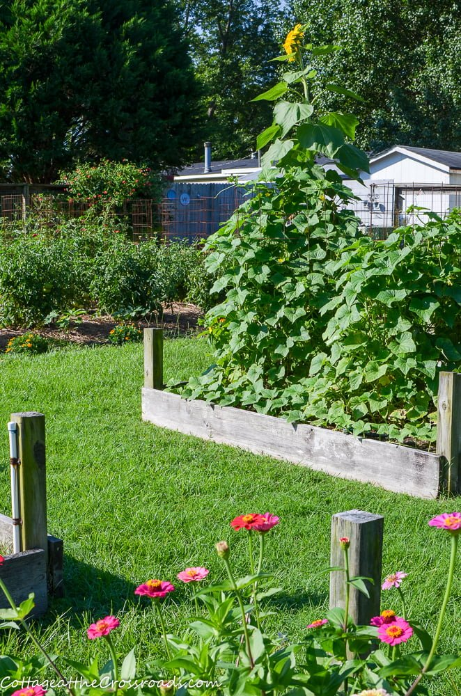 cucumbers in a raised bed