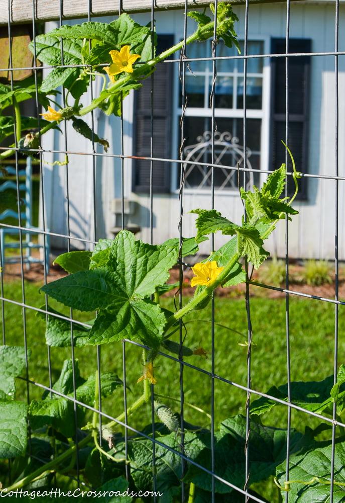 cucumbers growing in a garden