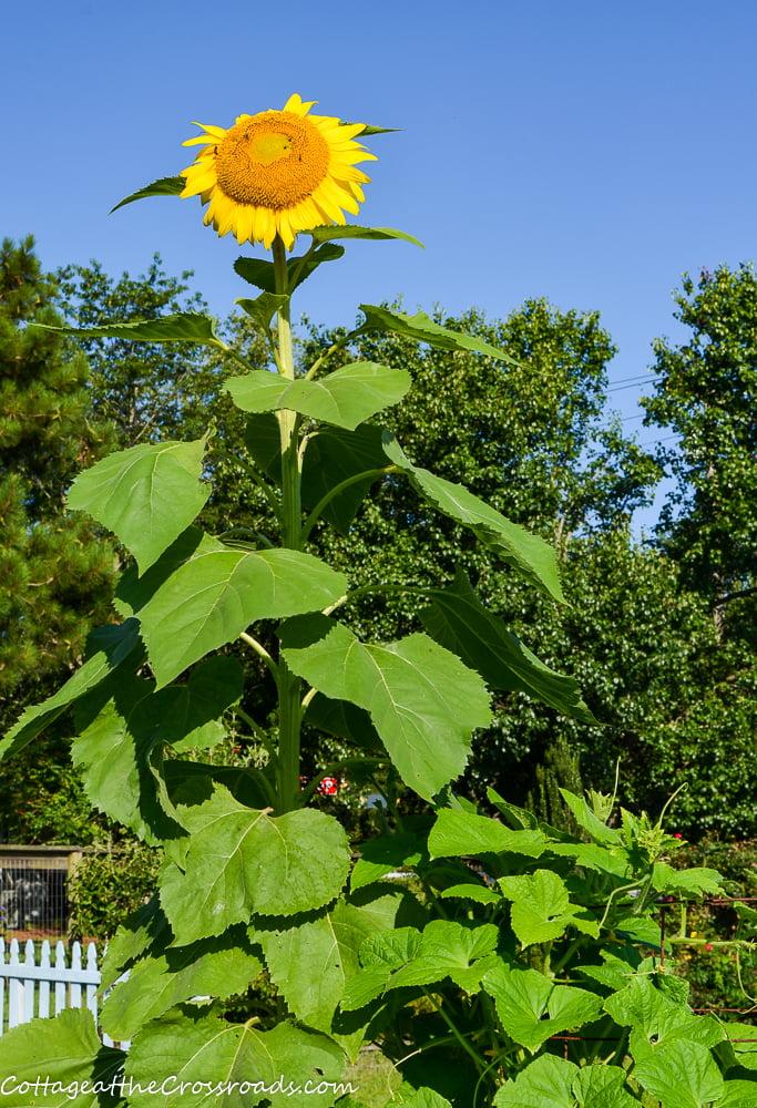 sunflower growing beside cucumbers