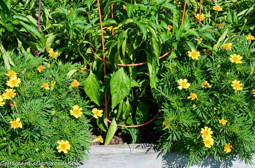 marigolds grown in a raised bed