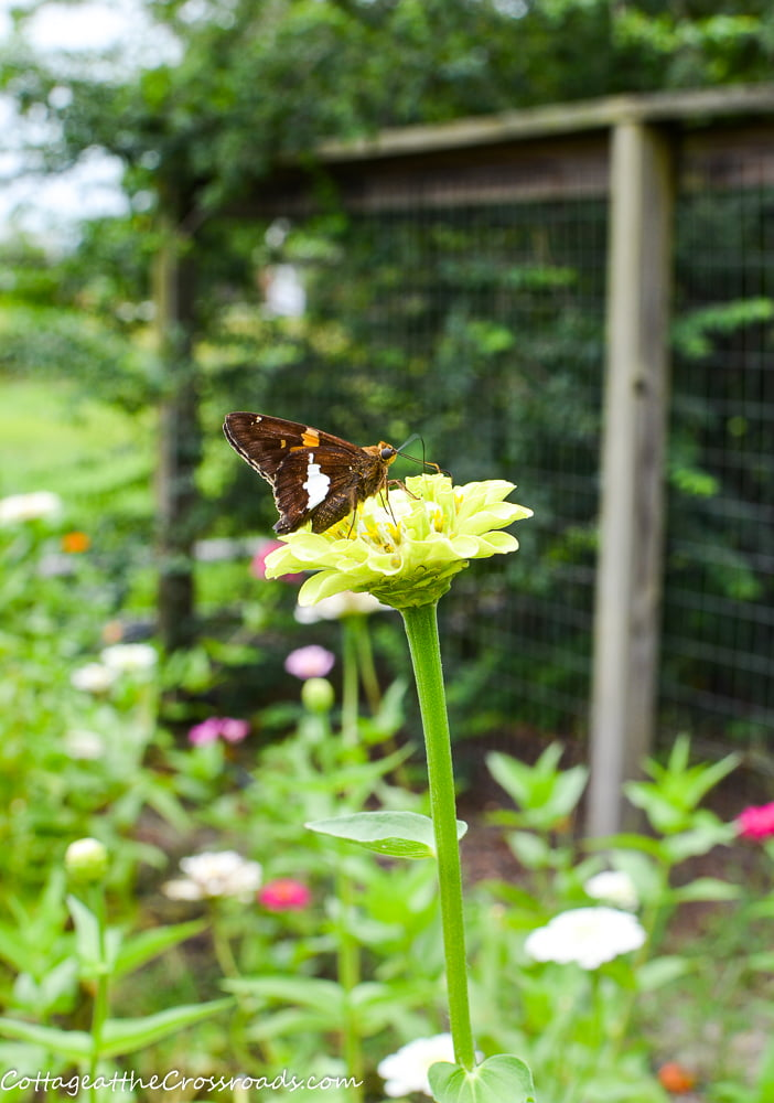 butterfly on a zinnia in a vegetable garden