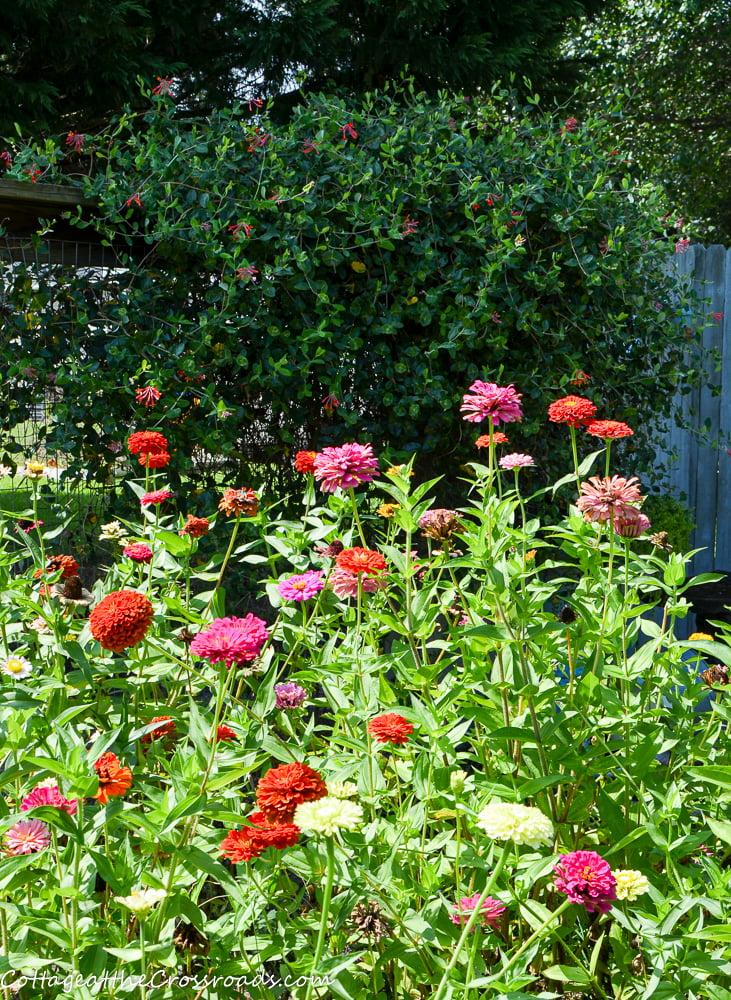 zinnias and honeysuckle vine in a vegetable garden