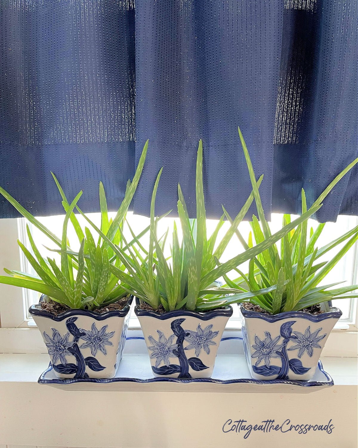 aloe plants growing in blue and white containers