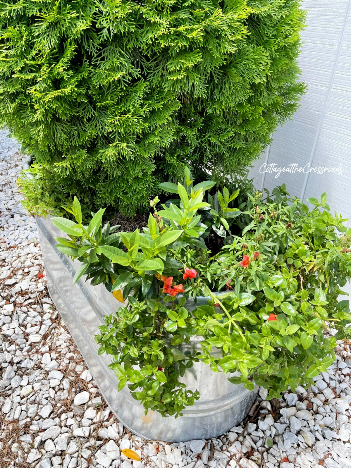 snapdragons and other plants in a metal watering trough