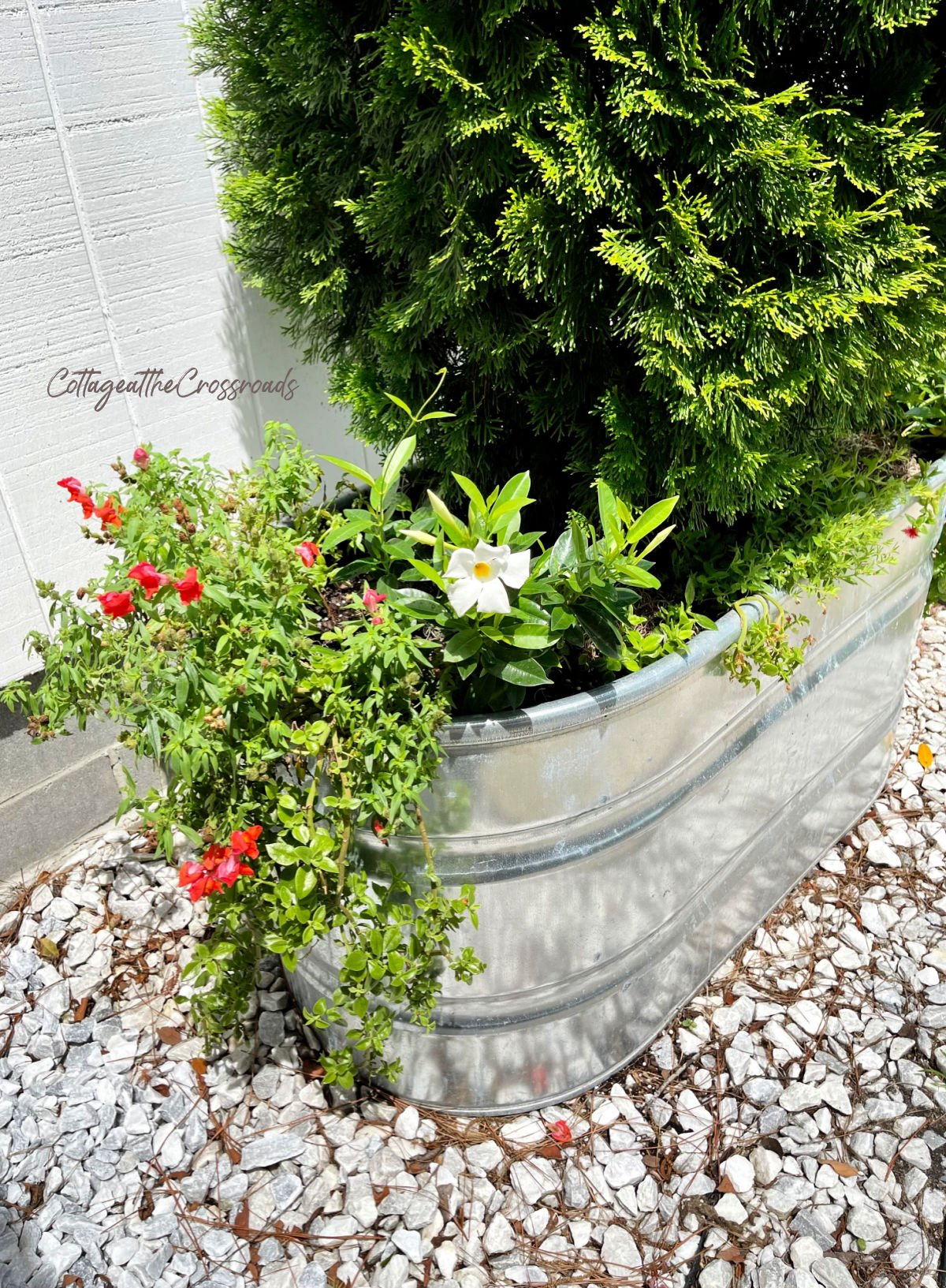 snapdragons and mezoo trailing red in a metal watering trough