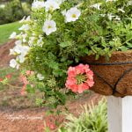 coral verbena and white million bells in a basket