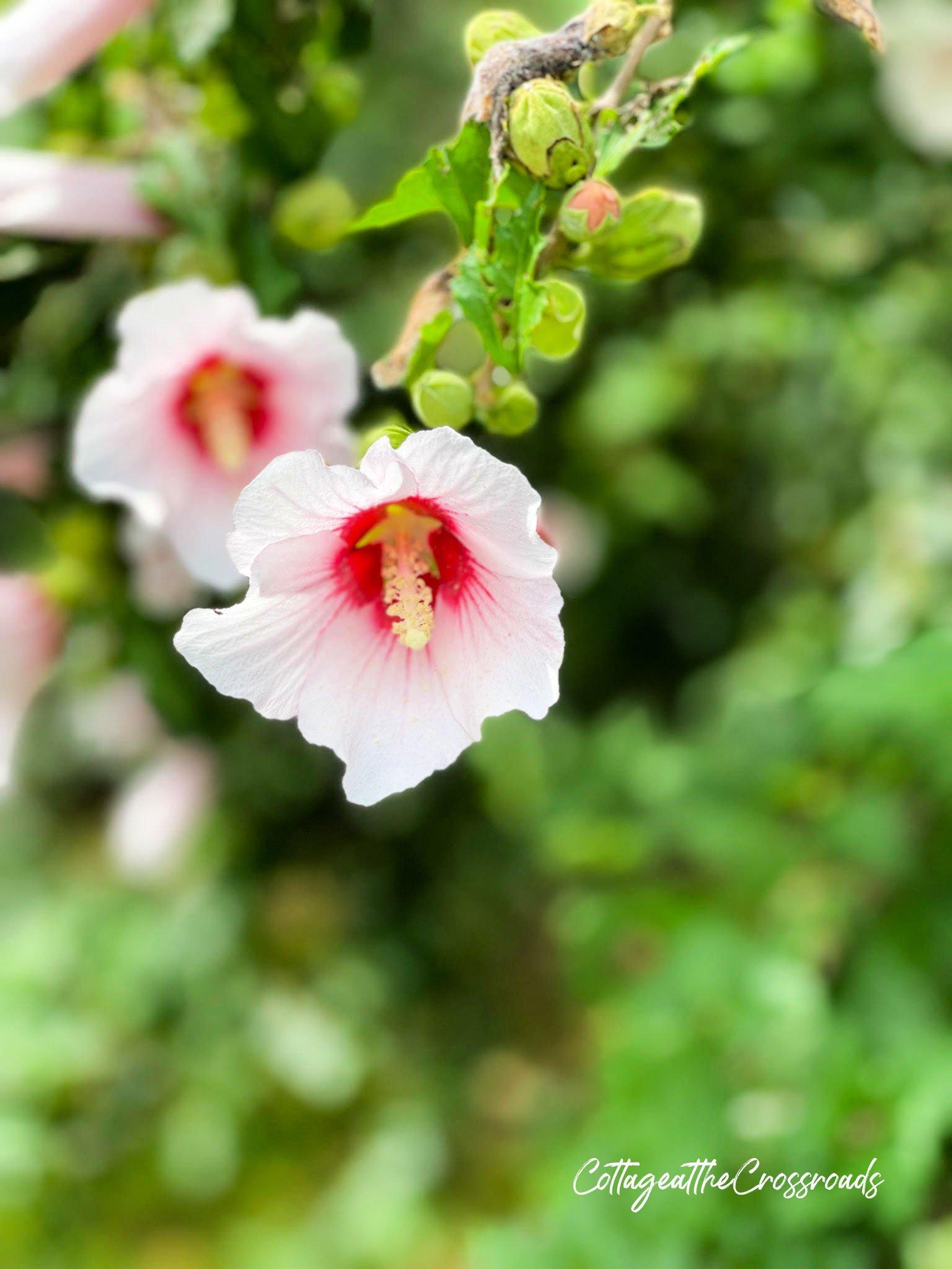 Rose of Sharon blossom