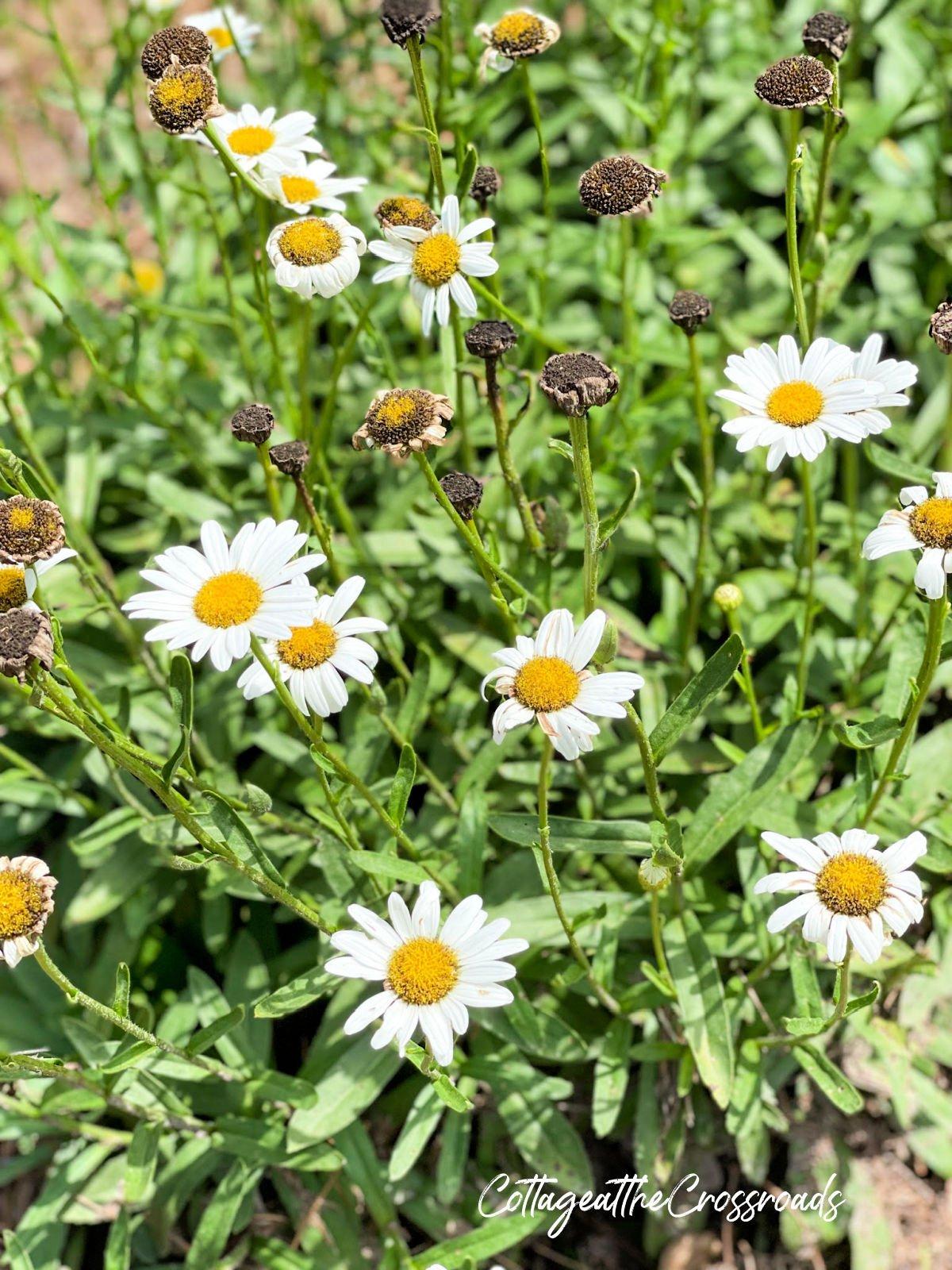 Shasta daisy blooms